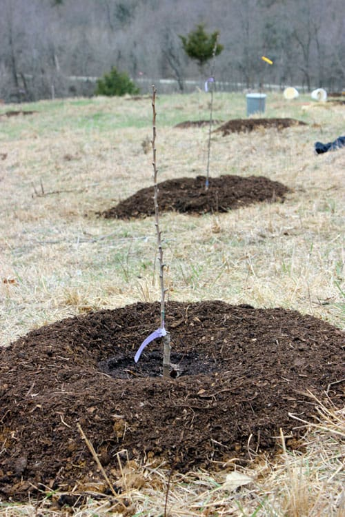 Young fruit tree planted in a food forest | Homestead Honey