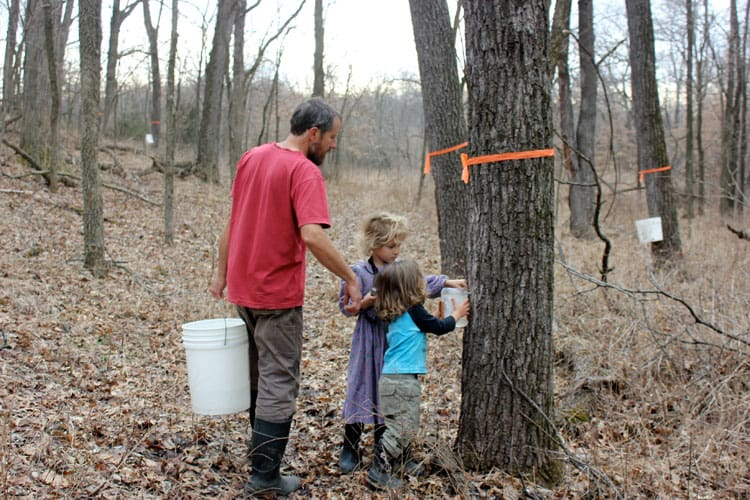 collecting black walnut sap