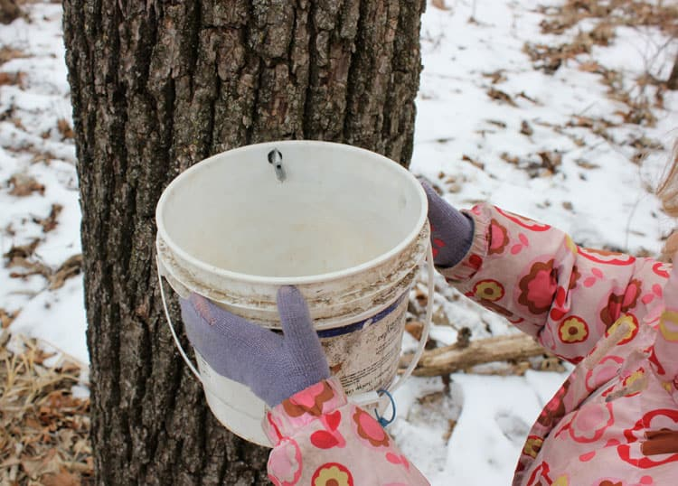 bucket to collect black walnut sap