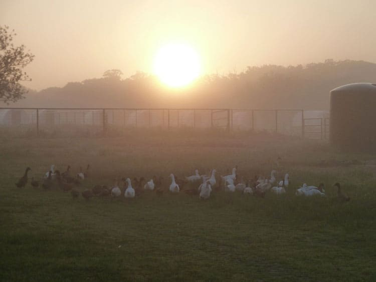 ducks at Claborn Family Farms | Homestead Honey