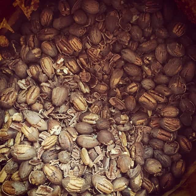 17 pounds of cracked pecans. Taking the shells off of this lot seems like the perfect winter night activity!  #localfood #empoweredeating #homestead