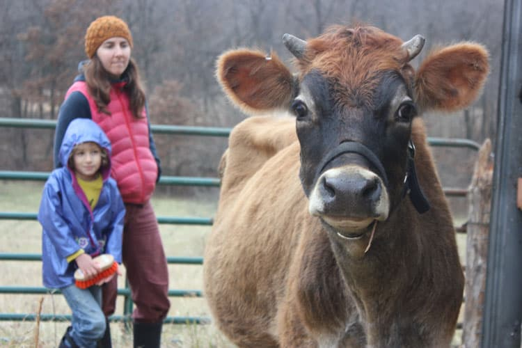 Creme Brulee, a Jersey milk cow, gets settled into her new home | Homestead Honey