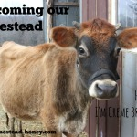 Welcoming our Homestead Cow