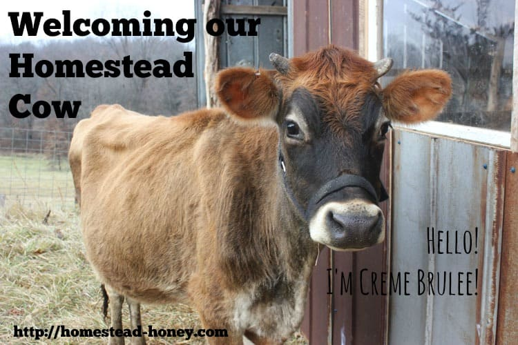 Welcoming our new Homestead Cow | Homestead Honey