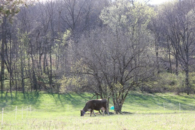 Homestead Cow grazing in the pasture
