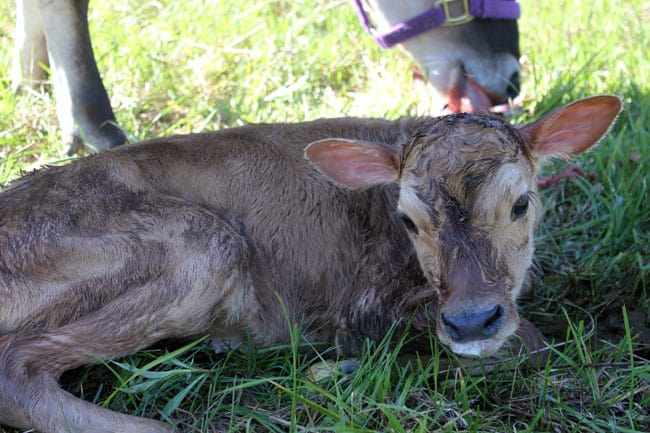 Our newborn calf in the pasture | Homestead Honey