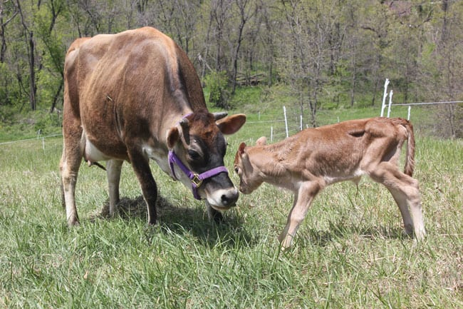 May Apple the calf bonds with her mama, our Family Milk Cow | Homestead Honey