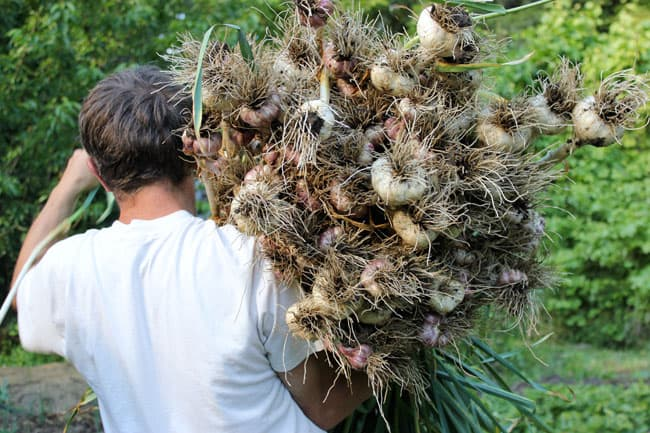 A year's worth of garlic for medicinal and culinary use | Homestead Honey