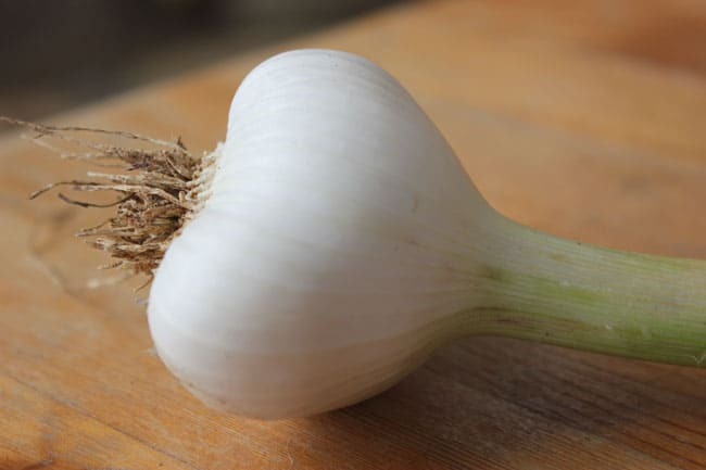 A softneck garlic bulb, ready to braid for longterm storage | Homestead Honey