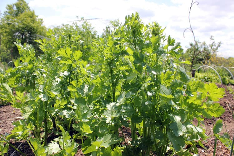 CIlantro grows as a volunteer in our garden, after several years of seeding | Homestead Honey