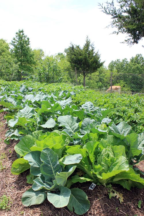 Broccoli and cabbage thrive in May | Homestead Honey