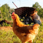 Out the Front Door: Chicken Love