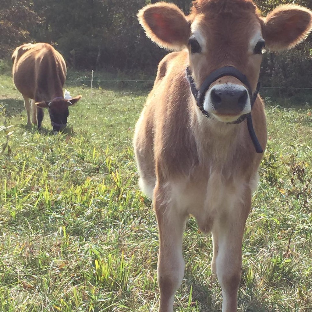 Our family milk cow and her calf graze in the pasture | Homestead Honey