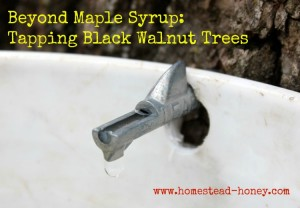 Tapping Black Walnut trees for syrup-making | Homestead Honey