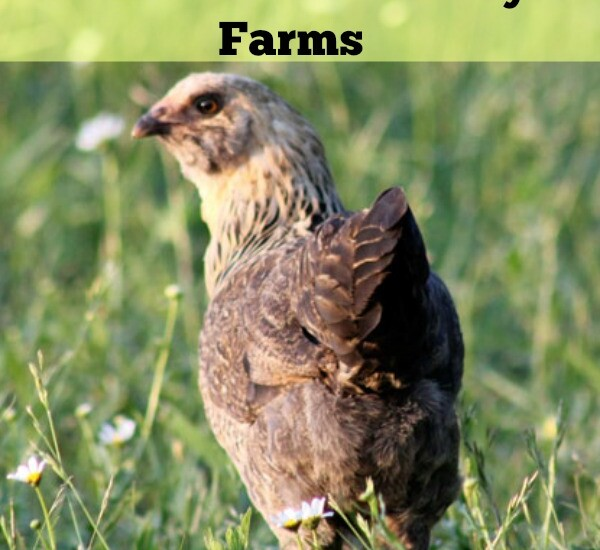 Ordering started chicks and ducks from Claborn Family Farms | Homestead Honey