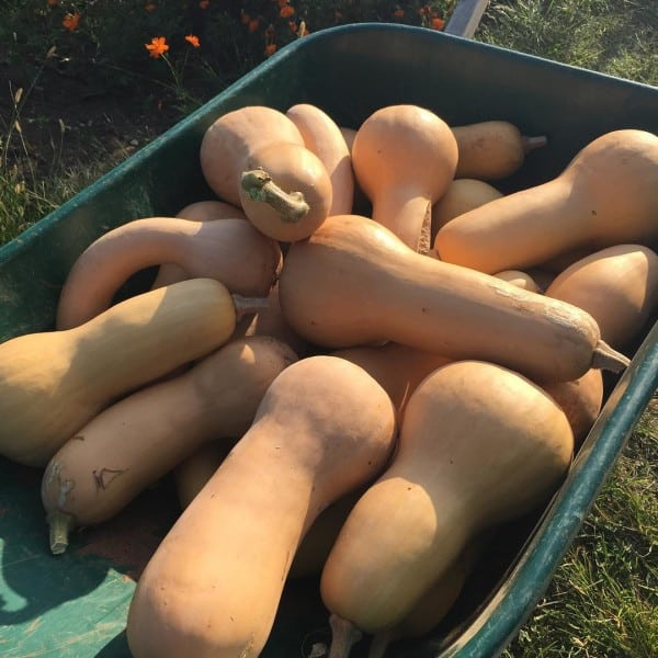 Butternut squash for winter storage | Homestead Honey