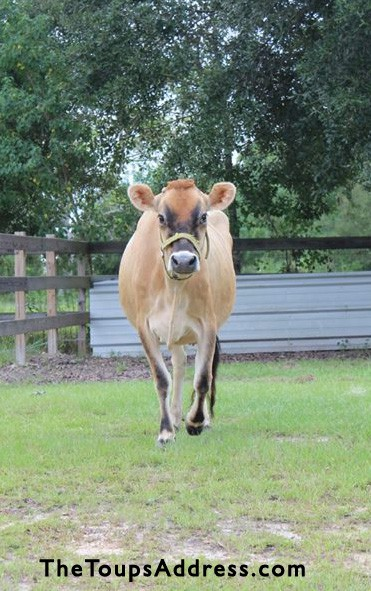 Advice for First Time Cow Owners | Homestead Honey  (Thanks to TheToupsAddress.com for their photo of Belle!)