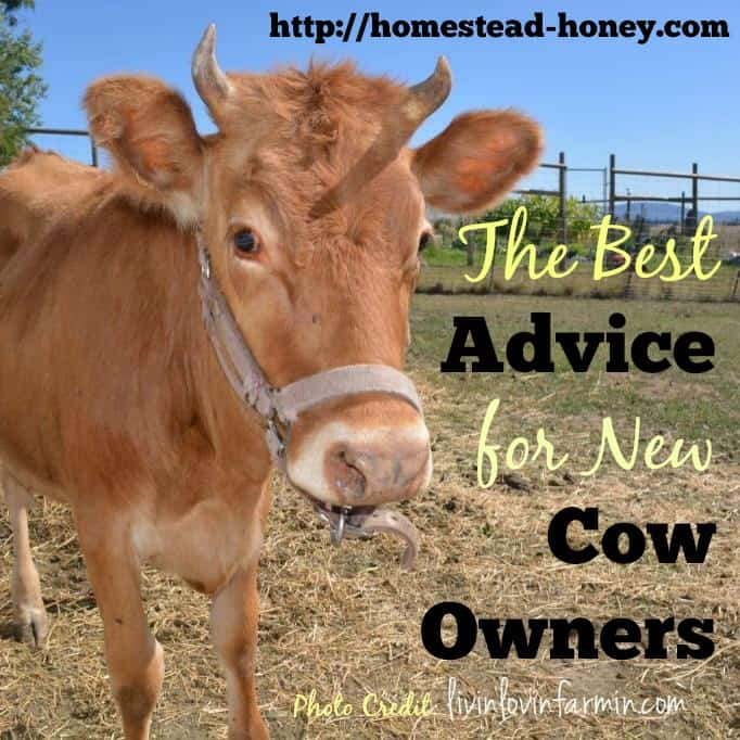 Homesteaders share their best advice for new cow owners | Homestead Honey