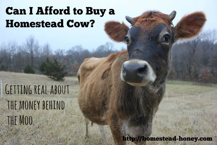 Can I afford to buy a family milk cow? A look at the expenses and savings of purchasing your first cow. | Homestead Honey