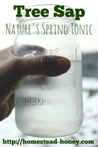 Sap from many common trees is edible, and loaded with vitamins and minerals - a perfect, 100% natural spring tonic! | Homestead Honey