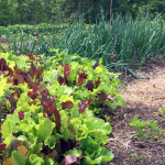 Lettuce and onions thrive in a lasagna garden bed | Homestead Honey