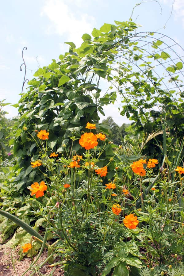 Beans climb a trellis, while cosmos blooms in the foreground | Homestead Honey