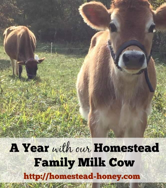Getting a family milk cow for our homestead has been an amazing, and sometimes challenging experience. | Homestead Honey