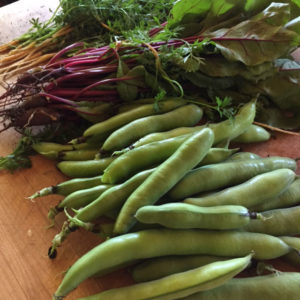 Fava beans and beet and carrot thinnings make for delicious meals. | Homestead Honey