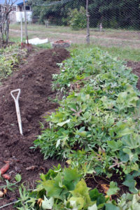 This bed of sweet potatoes is ready to harvest, cure and store. | Homestead Honey