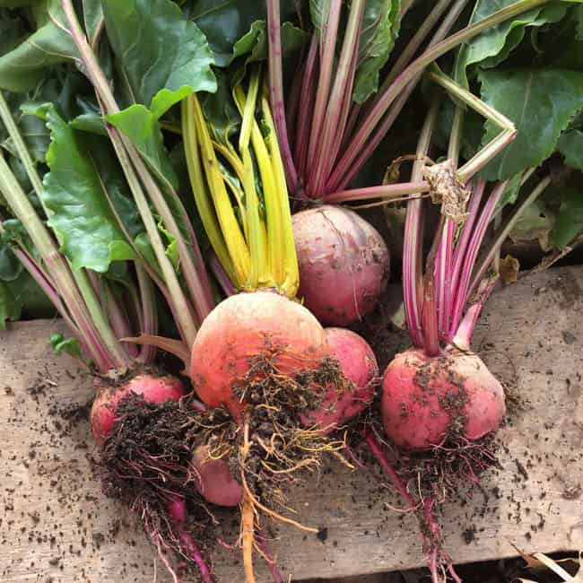 Beets can be lifted from the ground and stored in a homestead root cellar | Homestead Honey