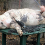Butchering Pigs on our Homestead
