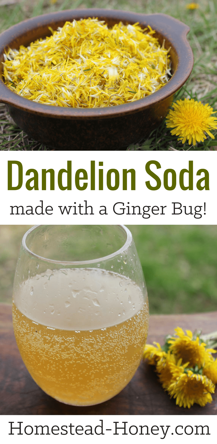 Homemade Dandelion soda recipe, made with a ginger bug