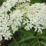 20+ Elderflower Recipes for a Summertime Treat