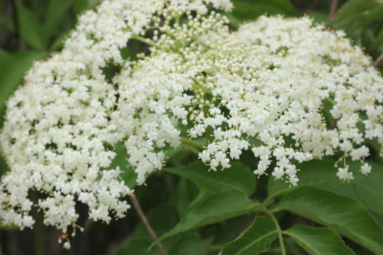 Elderflower, Sambucus canadensis, growing on my homestead, ready for picking for elderflower recipes